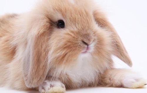 垂耳兔身上会不会有臭味